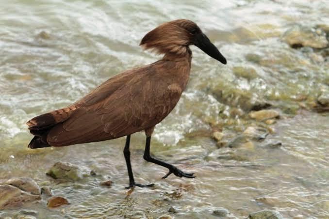 15 days Ethiopian bird watching tour itinerary-lungo loca tours Ethiopia